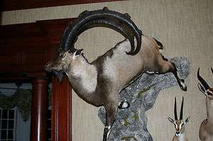 Bezoar ibex alive - photo#4