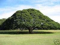MONKEY POD TREE (Samanea saman) 20 seeds