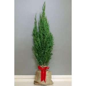 Living Holiday Juniper Tree