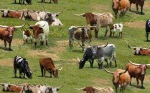 Elizabeth Studios Texas Longhorn Cattle QUILT FABRIC