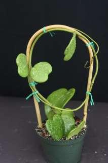 Silver Splash RARE tropical plant Heart shaped leaves unusual USA