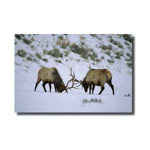 Bull Elk Fight Yellowstone Wyoming Giclee Print: Home