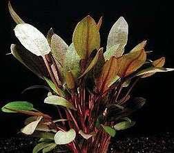 CRYPTOCORYNE WENDTII RED, EASY LIVE AQUATIC PLANT