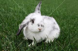 Baby English Lop Rabbit Royalty Free Stock Photo