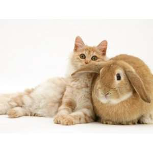 Red Silver Turkish Angora Cat and Sandy Lop Rabbit Snuggling Together